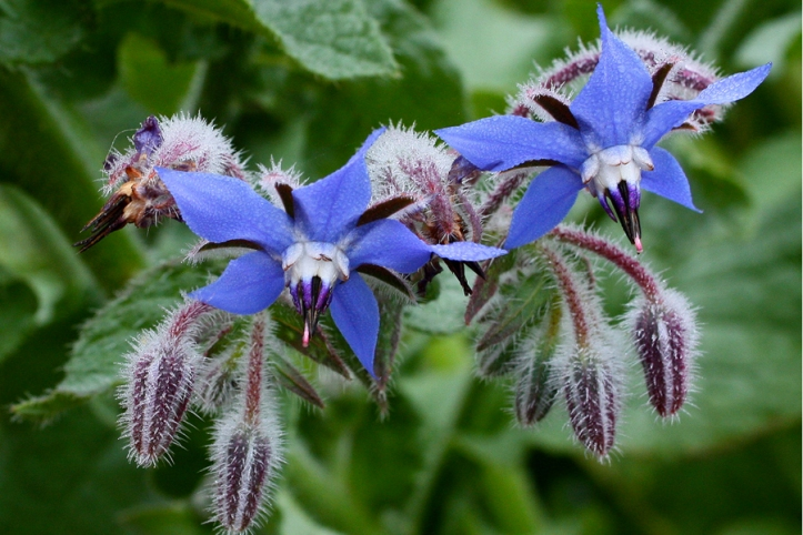 borragine, Borago-officinalis, borragine in cucina, erbe spontanee commestibili
